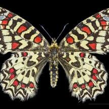 493px-Zerynthia_rumina_MHNT_CUT_2013_3_8_female_Dos_Villegailhenc
